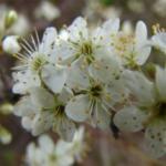 Schlehdorn Frischpflanzentüchlein