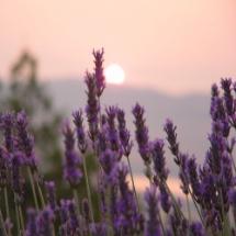 Lavendel Frischpflanzentüchlein